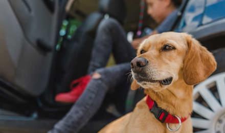 Gele hond zit bij een auto en voorbereidingen om op reis te gaan
